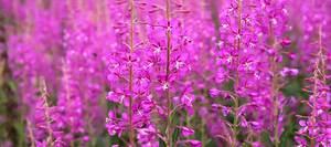Иван-чай - фото лекарственного растения