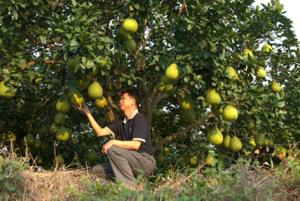 Памело является прародителем грейпфрута