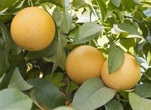 Что за фрукт помело и чем он полезен?
