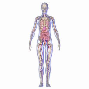 Анатомия внутренних органов человека в картинках