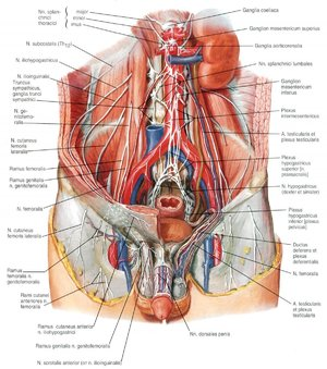 Анатомия внутренних органов человека