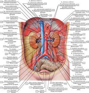 Нижний уровень внутренних органов