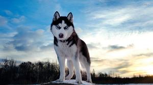 Собаки породы хаски