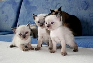 Нюансы приобретения сиамских котят
