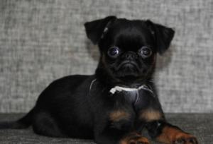 Пти Брабансон порода собак: описание и основные характеристики, фото и отзывы владельцев, содержание и уход