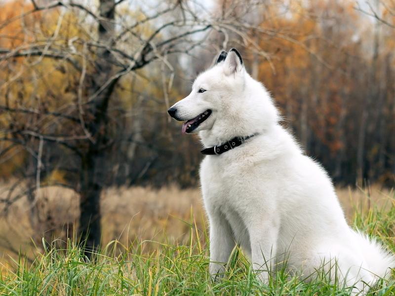 Аляскинский маламут: описание породы, особенности поведения и дрессировки собаки, правила ухода и выбора щенка