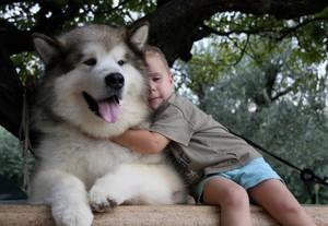 Особенности характера собак маламутов
