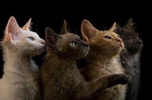 Породы кошек - какие бывают домашние любимцы