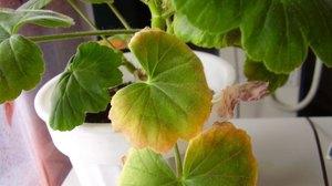 Почему желтеют листья герани