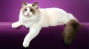 Кошки породы Рэгдолл - фото