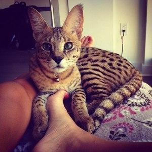 Описание пятнистых кошек