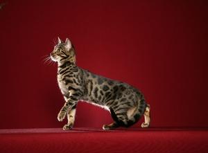 Чем питаются бенгальские кошки