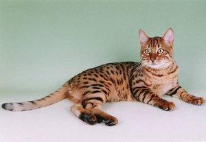 Пятнистая кошка в домашних условиях