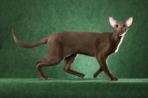 Характеристика кошек ориентальных пород