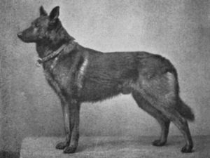 Тюрингская овчарка