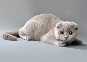 Как содержать и ухаживать за вислоухими кошками