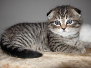 Характер кошки вислоухой породы