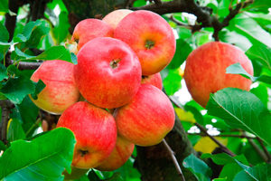 Яблоня с плодами во сне