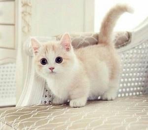 Манчкин котенок