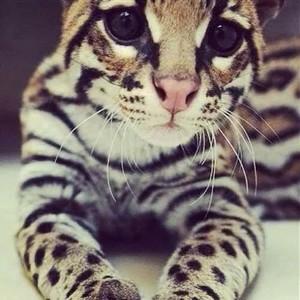 Кошка саванна мордочка