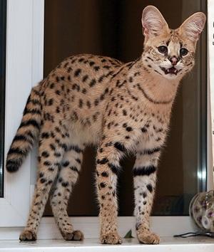 Сервал (африканская кошка): описание породы и характера, фото