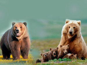 Женщине приснилось несколько медведей - значение сна
