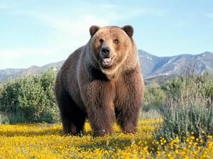 Сонник Ванги: к чему снятся медведи