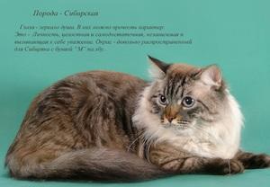 Характеристика породы кошки