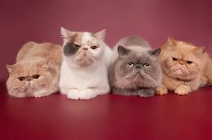 Экзотические короткошерстные кошки