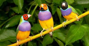 Уход за птицами Амадины