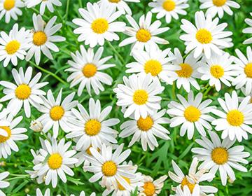 Цветы ромашки аптечной